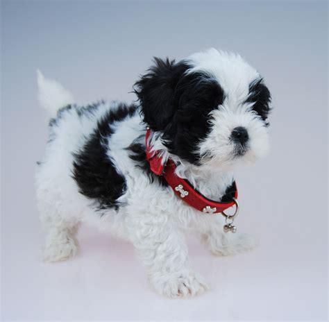 Moodles Chevromist Kennels Puppies Australia