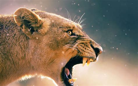 Angry Animal Female Lion Hd Desktop Backgrounds Free