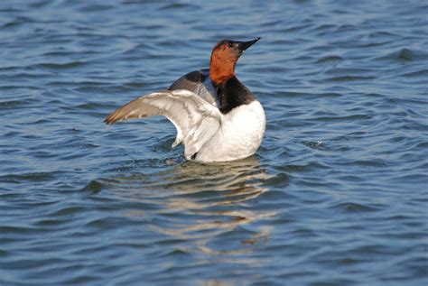 The Canvasback duck is the largest diving duck species