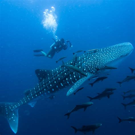 Diving with Whale Sharks Dive Worldwide