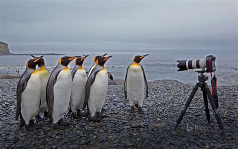 King penguins at St Andrews Bay, South Georgia
