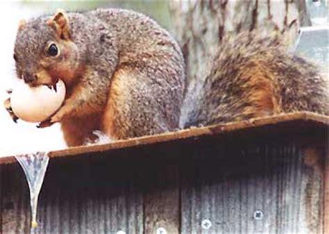 Squirrel eating an egg : SEUT