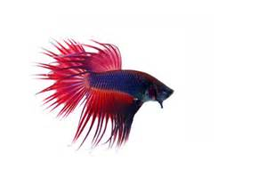 Betta or Siamese Fighting Fish EchoHealthy Pets