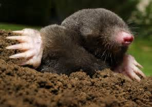 Mole Animal Related Keywords & Suggestions Mole Animal