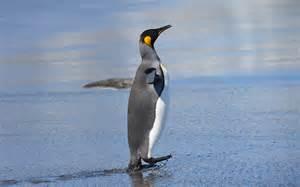 King Penguin (Aptenodytes patagonicus), Saint Andrew's Bay, South