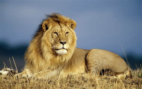 HD Lions Wallpapers and Photos HD Animals Wallpapers