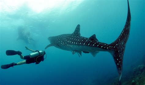 Diving with whale sharks Australian Geographic