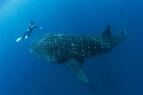 Diver Almost Swallowed by Whale Shark (Picture Gallery)