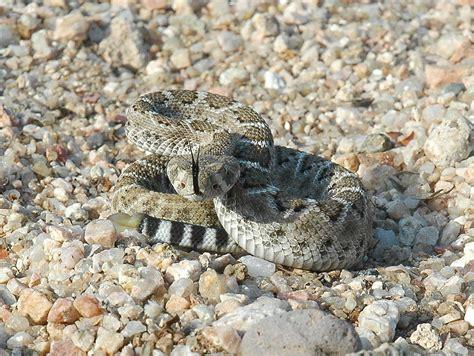 Baby Western Diamondback Rattlesnake All About Snake