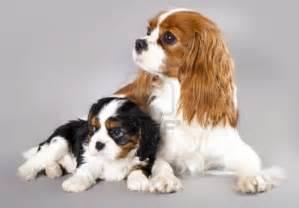 cavalier king charles spaniel dog breed cavalier king charles spaniel
