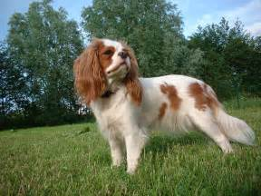 cavalier king charles spaniel is a baby brand of spaniel type dog and