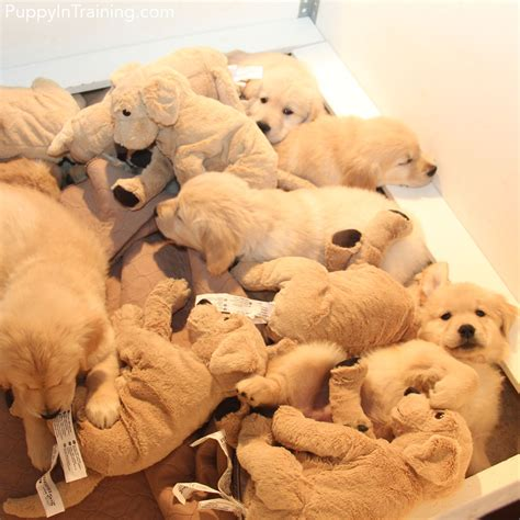Our Litter Of Golden Retriever Pups Week 8 Dog Couture