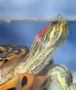 10 Non Fish Aquarium Pets Red Eared Slider Turtle