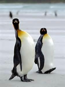King Penguin The Cincinnati Zoo & Botanical Garden