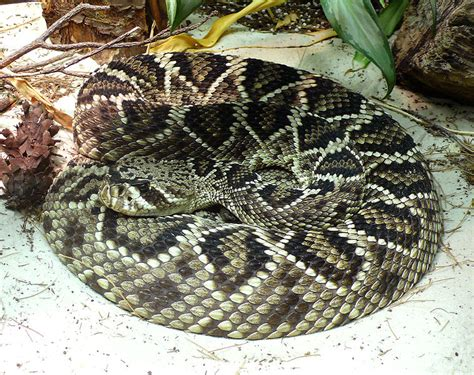 Eastern Diamondback Rattlesnake Facts the Worlds