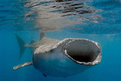 5 Best Destinations for Diving with Whale Sharks Scuba