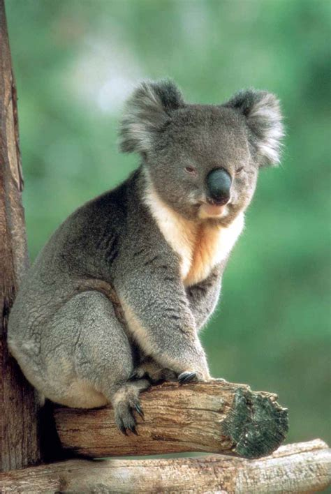 Amazing Koala: Endangered Species, Koalas Facts, Photos