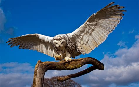 Snowy Owl Beautiful HD Beautiful Pictures All HD Wallpapers