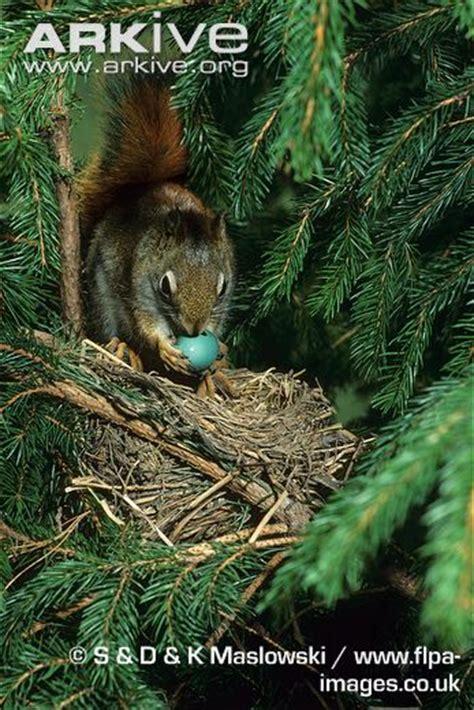 American red squirrel photo Tamiasciurus hudsonicus