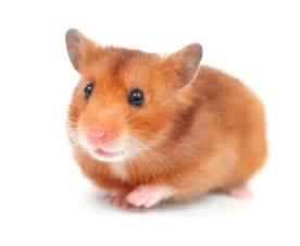 paws n claws Hamster