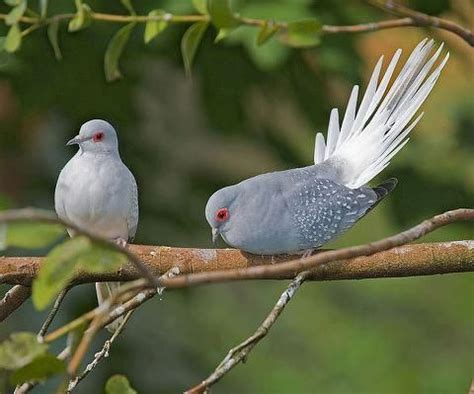 76 best Diamond doves images on Pinterest Diamond