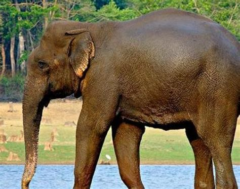 Indian Elephant (Elephas Maximus Indicus) Animals A Z