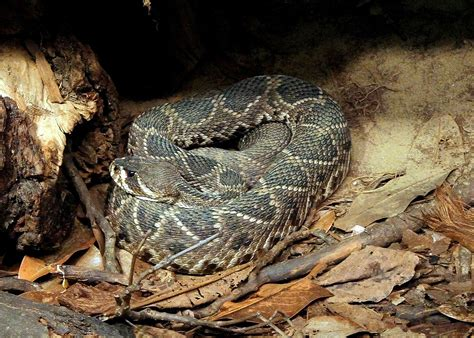 Eastern diamondback rattlesnake Wikipedia
