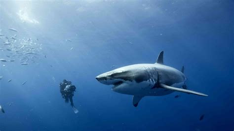 Free diving with great white sharks : EAF