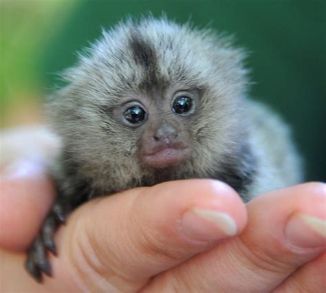 Cute baby marmoset being raised in Germany (7 pics