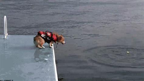 Corgi Jumping Into Water Gif