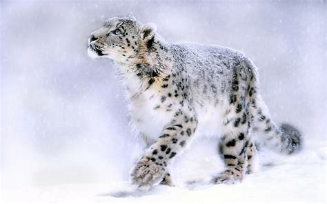 Snow Leopard Wallpapers HD Pictures One HD Wallpaper