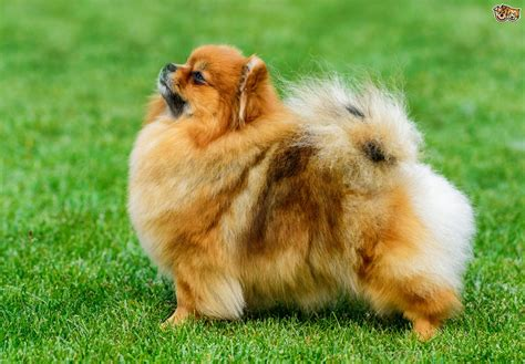 Pomeranian Dog Breed Information, Buying Advice, Photos