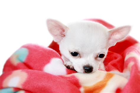 Pictures of Chihuahua Dogs Pets World
