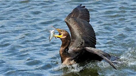 Myriad Seabirds Help Track Mercury Pollution All About Birds