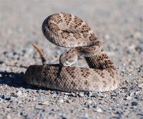 Western Diamondback Rattlesnake Coniferous Forest