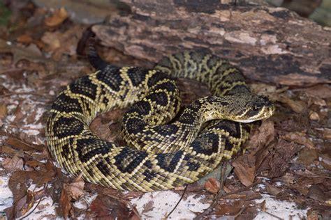 Eastern Diamondback Rattlesnake Free HD Wallpapers Images