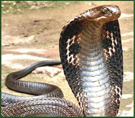 king cobra snake king cobra eating king cobra eating another snake