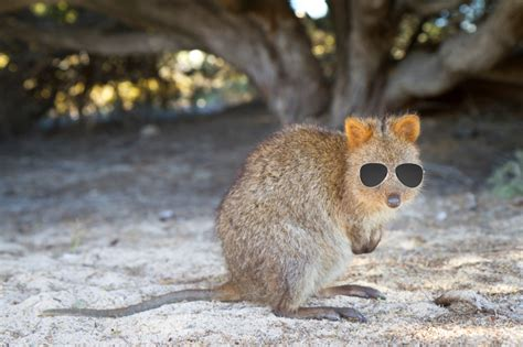 6 Things to Know About the Super Cute Quokka Mental Floss