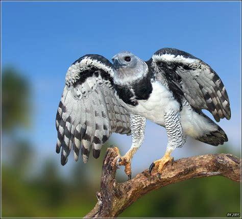 Harpy Eagle Scientific Name: Harpia harpyja Range: Central