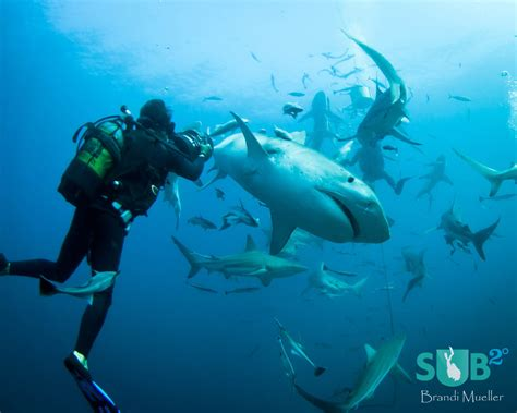 No Cage Diving with Tiger Sharks off South Africa
