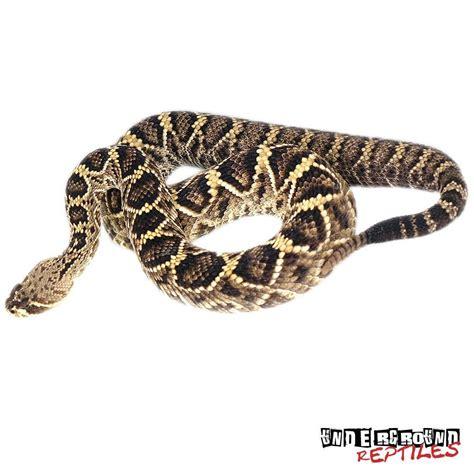 Eastern Diamondback Rattlesnakes For Sale Underground