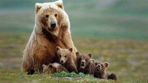 Medvjed i mladunčad Pozadineinfo najbolje pozadine za