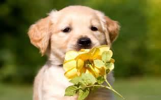 Cute Golden Retriever Puppy Golden Retriever Puppy