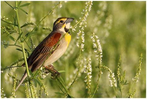 Christian Artuso: Birds, Wildlife: Dickcissel in Manitoba