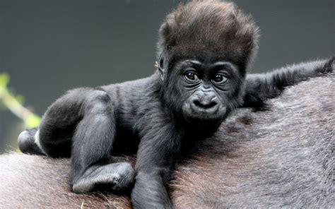 MONKEY BABY gorillas HAIR wallpaper 1920x1200 70734
