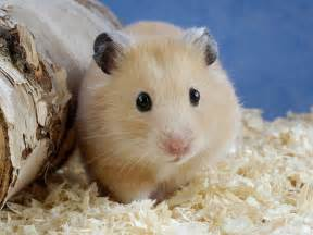 Animals: Golden Hamster, picture nr 41300