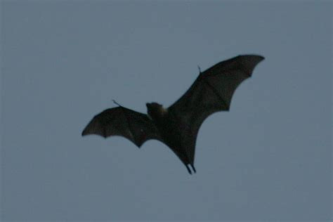 Pteropus tonganus tonganus The Pacific Fruit Bat