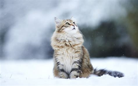 animals, Cat, Snow, Looking Up Wallpapers HD / Desktop and