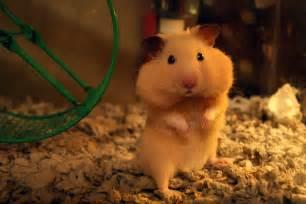 animal, cute, hamster, pet, quality image #331490 on