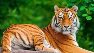 Free tiger animal wallpaper HD